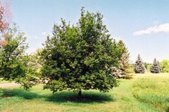 Hop Hornbeam (Ostrya virginiana) at Hillermann Nursery