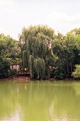 Wisconsin Weeping Willow (Salix x pendulina 'Wisconsin') at Hillermann Nursery