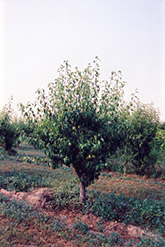 Anjou Pear (Pyrus communis 'Anjou') at Hillermann Nursery
