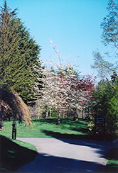 Double Flowering Sweet Cherry (Prunus avium 'Plena') at Hillermann Nursery