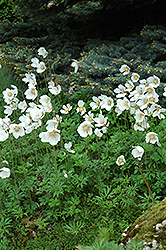 Windflower (Anemone sylvestris) at Hillermann Nursery