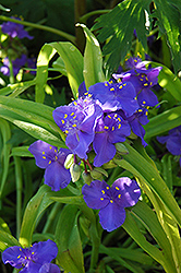Sweet Kate Spiderwort (Tradescantia x andersoniana 'Sweet Kate') at Hillermann Nursery
