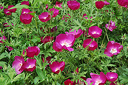 Buffalo Poppy (Callirhoe involucrata) at Hillermann Nursery