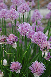 Chives (Allium schoenoprasum) at Hillermann Nursery