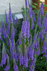 Sunny Border Blue Speedwell (Veronica 'Sunny Border Blue') at Hillermann Nursery