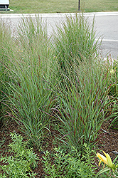 Shenandoah Reed Switch Grass (Panicum virgatum 'Shenandoah') at Hillermann Nursery