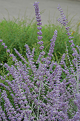 Russian Sage (Perovskia atriplicifolia) at Hillermann Nursery