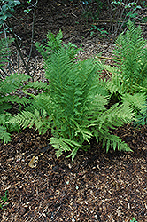 Lady Fern (Athyrium filix-femina) at Hillermann Nursery