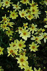 Creme Brulee Tickseed (Coreopsis 'Creme Brulee') at Hillermann Nursery