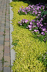 Golden Creeping Jenny (Lysimachia nummularia 'Aurea') at Hillermann Nursery