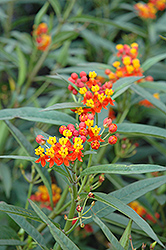 Red Butterfly Milkweed (Asclepias curassavica 'Red Butterfly') at Hillermann Nursery