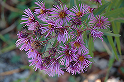 New England Aster (Aster novae-angliae) at Hillermann Nursery