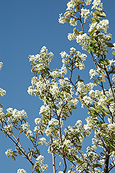 Allegheny Serviceberry (Amelanchier laevis) at Hillermann Nursery