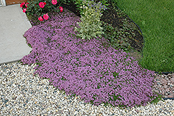 Red Creeping Thyme (Thymus praecox 'Coccineus') at Hillermann Nursery