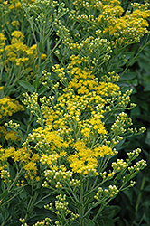 Stiff Goldenrod (Solidago rigida) at Hillermann Nursery