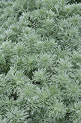 Silver Mound Artemesia (Artemisia schmidtiana 'Silver Mound') at Hillermann Nursery