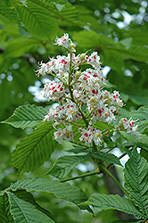 Horse Chestnut (Aesculus hippocastanum) at Hillermann Nursery
