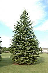 Colorado Spruce (Picea pungens) at Hillermann Nursery