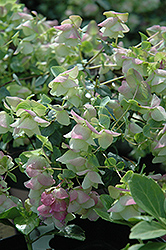 Kent Beauty Oregano (Origanum rotundifolium 'Kent Beauty') at Hillermann Nursery