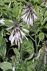 Francee Hosta (Hosta 'Francee') at Hillermann Nursery