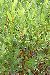 Flame Willow (Salix 'Flame') at Hillermann Nursery