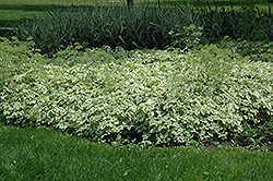 Variegated Bishop's Goutweed (Aegopodium podagraria 'Variegata') at Hillermann Nursery