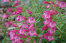 Red Rocks Beard Tongue (Penstemon x mexicali 'Red Rocks') at Hillermann Nursery