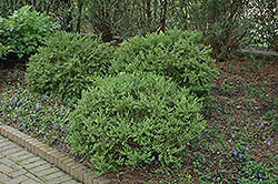 Wintergreen Boxwood (Buxus microphylla 'Wintergreen') at Hillermann Nursery