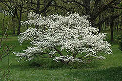Cherokee Princess Flowering Dogwood (Cornus florida 'Cherokee Princess') at Hillermann Nursery