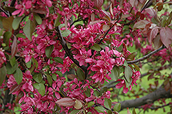 Profusion Flowering Crab (Malus 'Profusion') at Hillermann Nursery