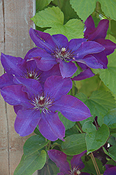 The President Clematis (Clematis 'The President') at Hillermann Nursery