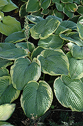 Samurai Hosta (Hosta 'Samurai') at Hillermann Nursery