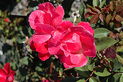 Pink Knock Out® Rose (Rosa 'Radcon') at Hillermann Nursery