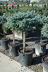 Globe Blue Spruce (tree form) (Picea pungens 'Globosa (tree form)') at Hillermann Nursery