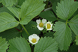 Ozark Beauty Strawberry (Fragaria 'Ozark Beauty') at Hillermann Nursery