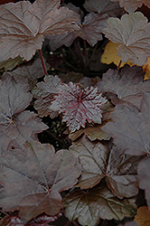 Blackout Coral Bells (Heuchera 'Blackout') at Hillermann Nursery