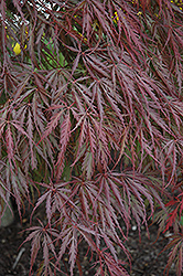 Tamukeyama Japanese Maple (Acer palmatum 'Tamukeyama') at Hillermann Nursery