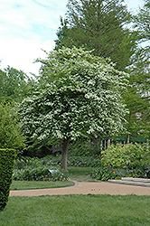 Green Hawthorn (Crataegus viridis) at Hillermann Nursery