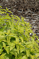 Sunshine Blue Caryopteris (Caryopteris incana 'Jason') at Hillermann Nursery