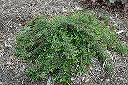 Little Gem Cotoneaster (Cotoneaster adpressus 'Little Gem') at Hillermann Nursery
