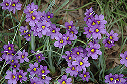 Lucerne Blue-Eyed Grass (Sisyrinchium angustifolium 'Lucerne') at Hillermann Nursery