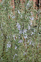 Arp Rosemary (Rosmarinus officinalis 'Arp') at Hillermann Nursery