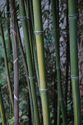 Yellow Grove Bamboo (Phyllostachys aureosulcata) at Hillermann Nursery