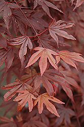 Fireglow Japanese Maple (Acer palmatum 'Fireglow') at Hillermann Nursery