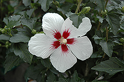 Lil' Kim® Rose of Sharon (Hibiscus syriacus 'Antong Two') at Hillermann Nursery