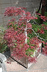Ever Red Lace-Leaf Japanese Maple (Acer palmatum 'Ever Red') at Hillermann Nursery