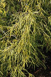 Lemon Thread Falsecypress (Chamaecyparis pisifera 'Lemon Thread') at Hillermann Nursery