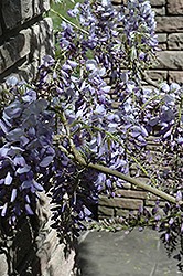 Cooke's Purple Chinese Wisteria (Wisteria sinensis 'Cooke's Purple') at Hillermann Nursery