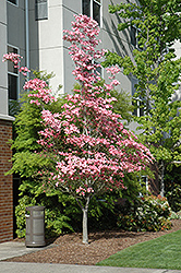 Cherokee Brave Flowering Dogwood (Cornus florida 'Cherokee Brave') at Hillermann Nursery