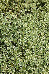 Variegated Boxwood (Buxus sempervirens 'Elegantissima') at Hillermann Nursery